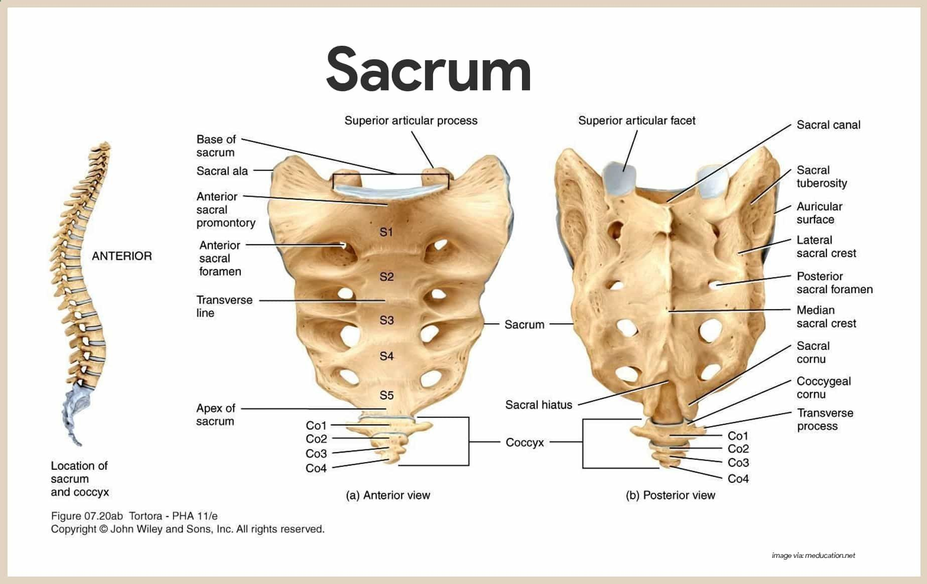 Sacrum Skeletal System Anatomy And Physiology For Nurses