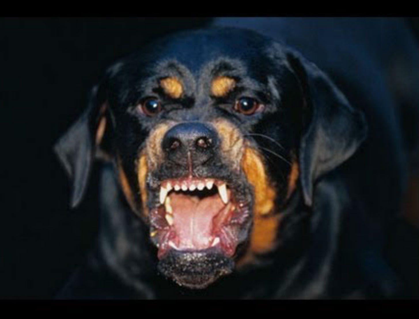 Rottweiler Dog Breeds Angry Dog Dangerous Dogs Rottweiler