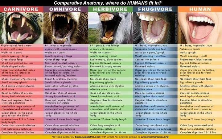 Comparative Anatomy Where Do Humans Fit In Carnivore Omnivore
