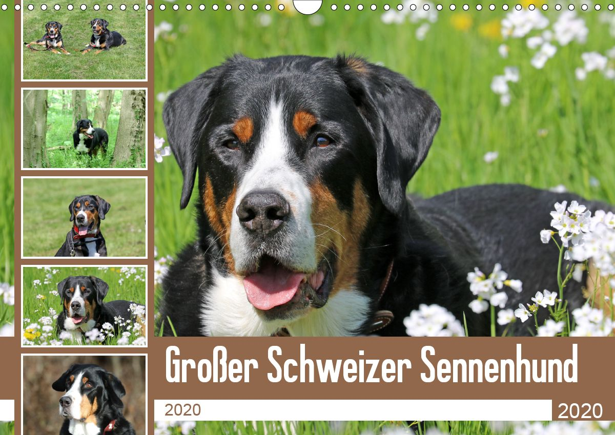 Der Grosse Schweizer Sennenhund Ist Mit Einer Grosse Von Bis Zu 72