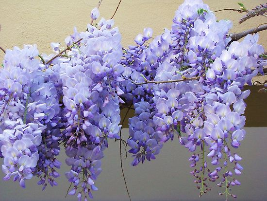 Wisteria By Rasim1 Amazing Flowers Pretty Flowers Purple Flowers