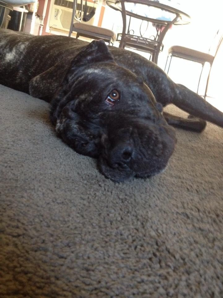 My Cane Corso 1 Year Old Female Brindle She S A Mush Cane