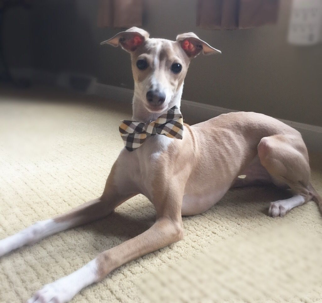Italian Greyhound Puppy Fawn Male 7months Bow Tie Iggy Dobby Dobster Italian Greyhound Italian Greyhound Puppies Grey Hound Dog