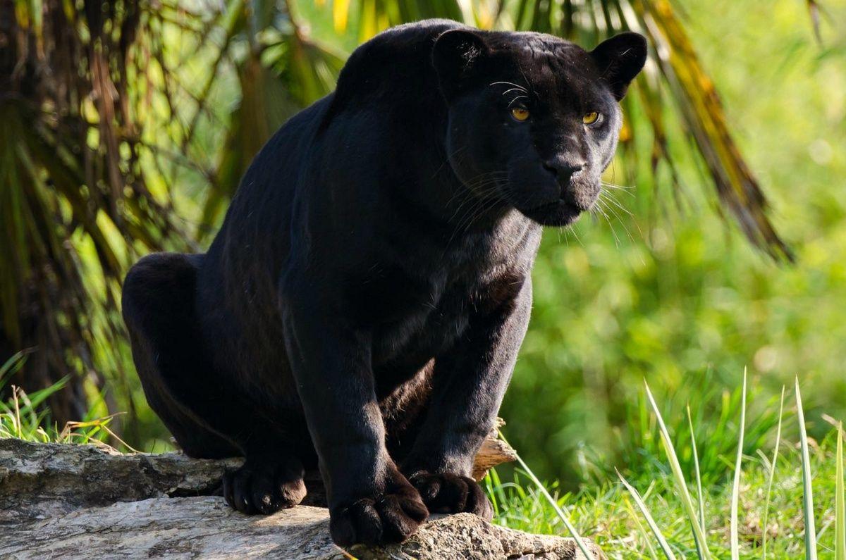 Картинки с черной пантерой в джунглях