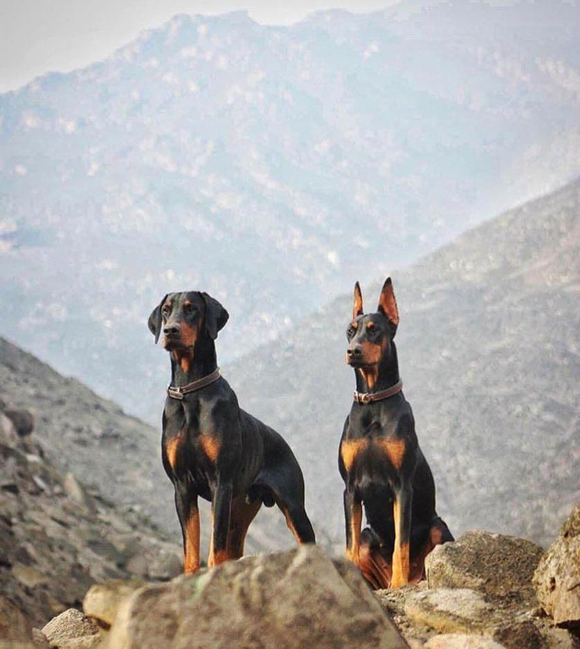 Discover The Powerful Dobermans Pups Personality Dobermanlife
