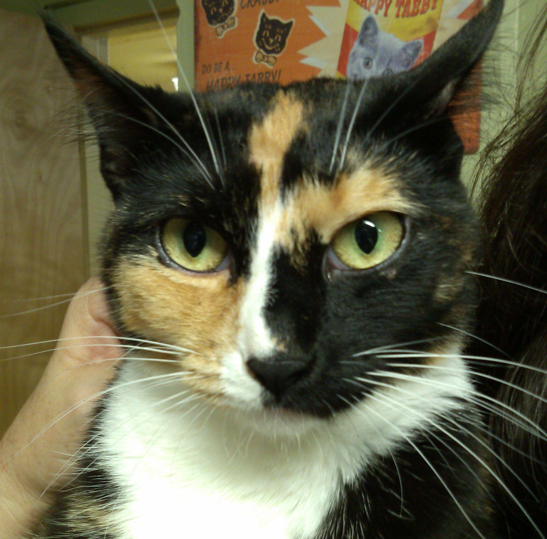 Adopt Summer on Petfinder Calico kitten, Kittens, Short