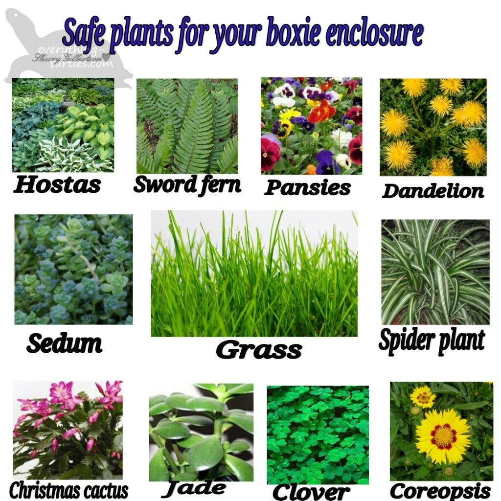 Safe Plants For Box Turtles And Tortoises Turtle Habitat Plants