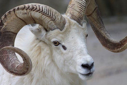 Ram Sheep Horns Animal Mammal Animals Sheep Mammals