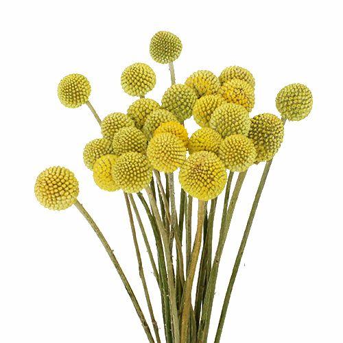 Floom Craspedia Pt Mustard Flowers Dried Flowers Flowers