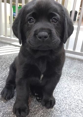 Courageous image of black puppy breed | Perro labrador, Animales ...