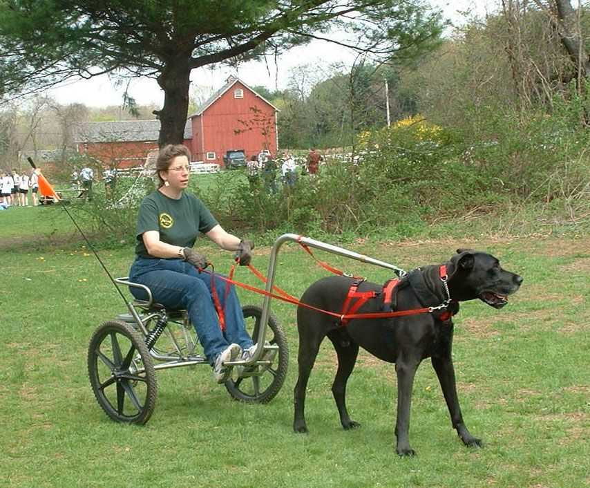 Great Dane and a mini-sulkie | Hitched Up | Dogs, Dog cat