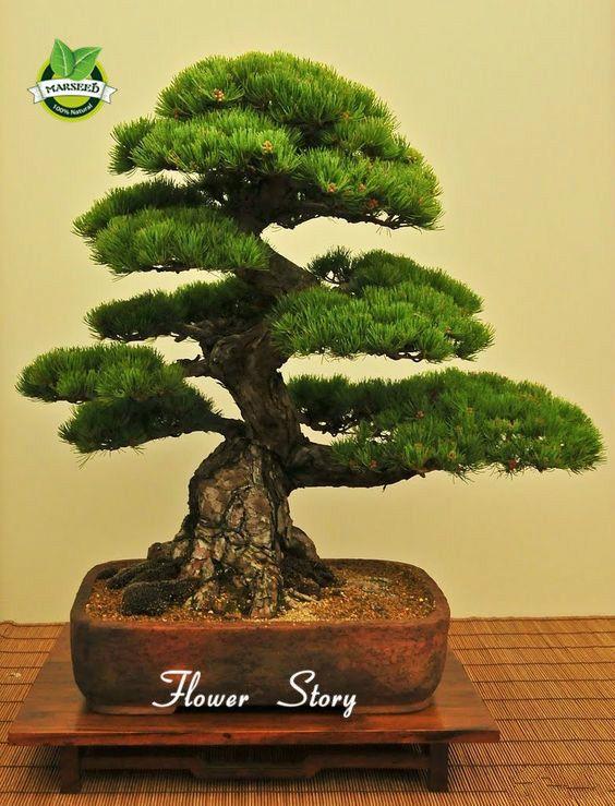 35 teile beutel japanische kiefer samen bonsai blume easy for Bonsai versand
