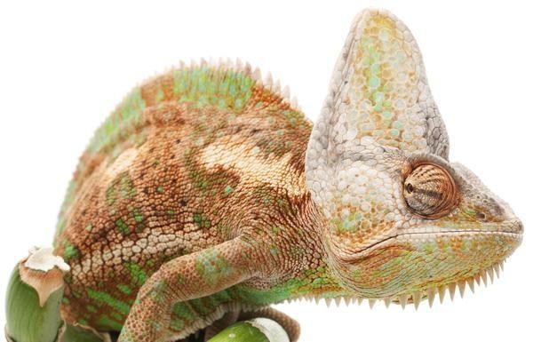 хамелеон | Хамелеон, Картинки, Рептилии
