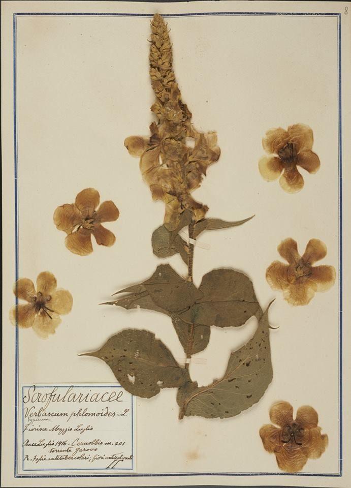 Erbario Fabani - Verbascum phlomoides