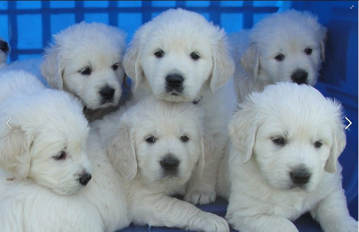 tHESE REG. GOLDEN RETRIEVER PUPPIES COME FROM SPIRIT