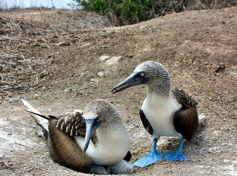 Blue-footed boobies on the Isla de la Plata, Ecuador