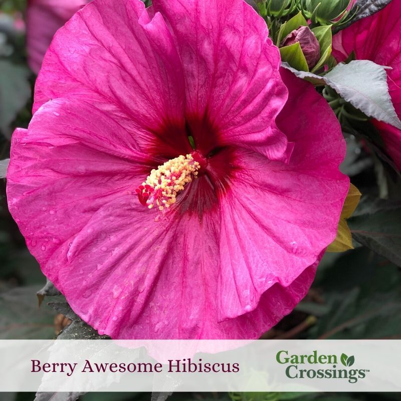One Of The Last Perennials To Emerge In The Spring But It Is Worth The Wait Huge 7 8 Blooms That Bloom In Mid To Lat In 2020 Perennials Hibiscus Garden Plant Roots