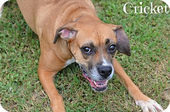 Laplace, LA Boxer/Beagle Mix. Meet Cricket, a dog for