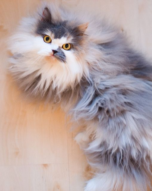 Feline 101 The Persian Fur Baby Cat Cat Breeds Feline