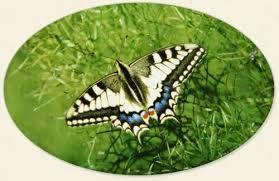 Kuvahaun tulos haulle ritariperhonen