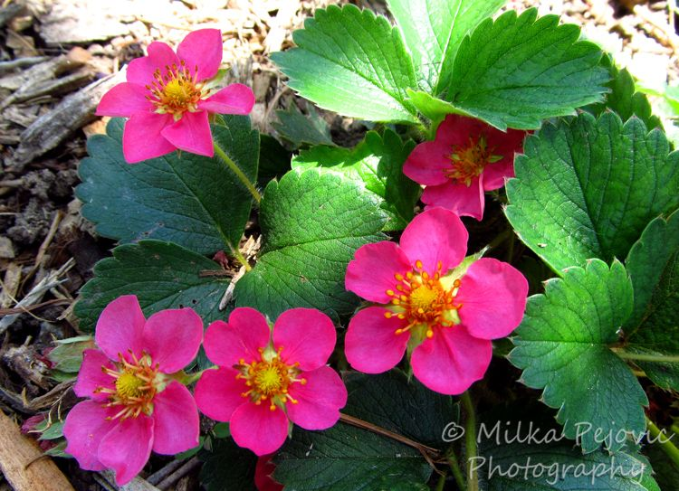 Fragaria red ruby a strawberry plant with pretty pink flowers just a strawberry plant with pretty pink flowers just gorgeous mightylinksfo Gallery