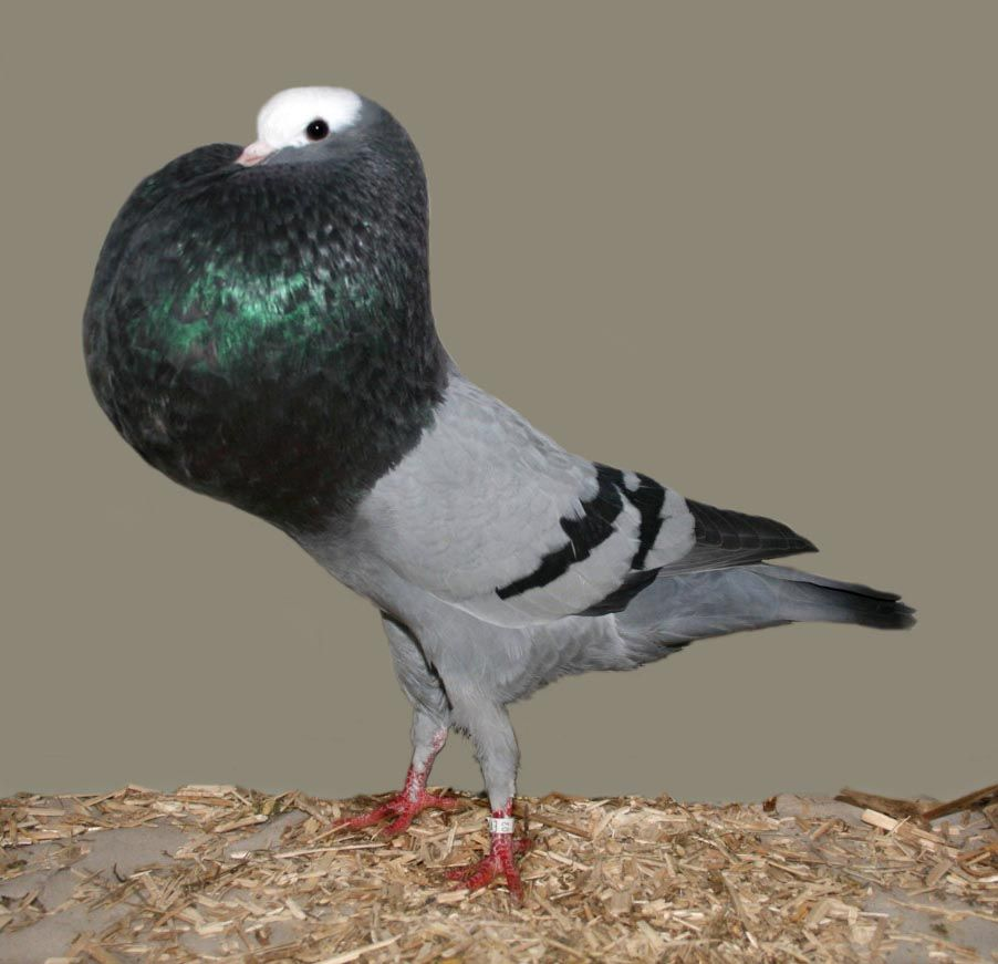 List of Pigeon Breeds | Silesian Pouter Pigeon
