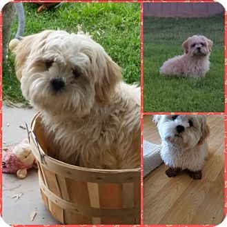 Gilbert Az Lhasa Apso Meet Max A Dog For Adoption Http Www