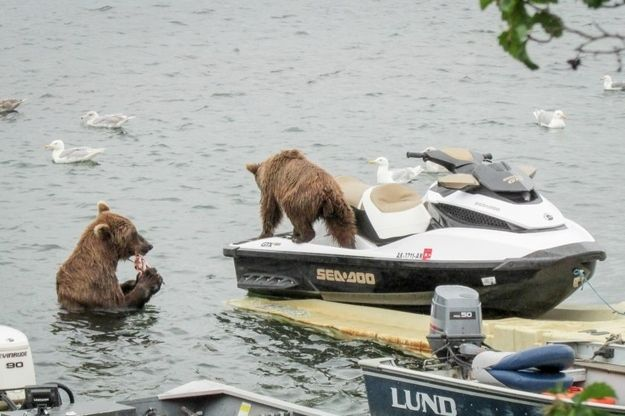 This Bear Riding On A Jet Ski Is The Most Alaska Thing Ever