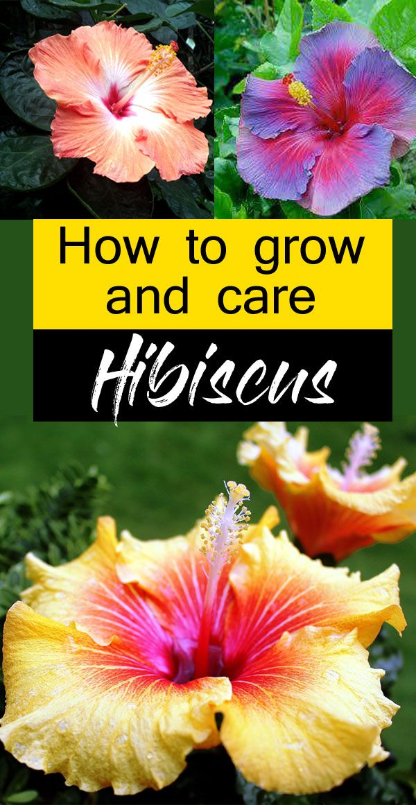 Growing Hibiscus flower | How to Grow Tropical Hibiscus plant - NatureBring
