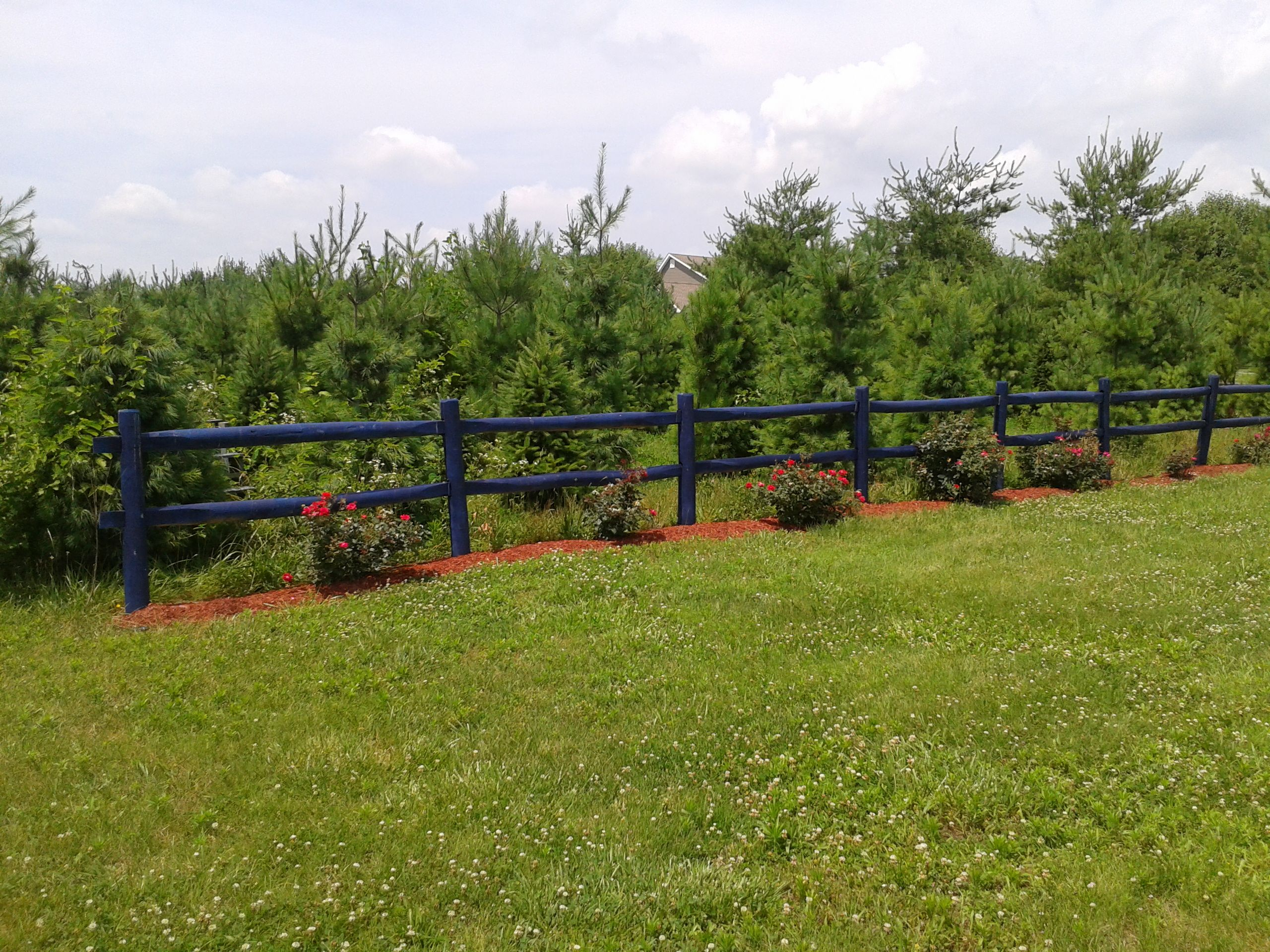 We started a Christmas tree farm! Here, the trees are 10 years old ...
