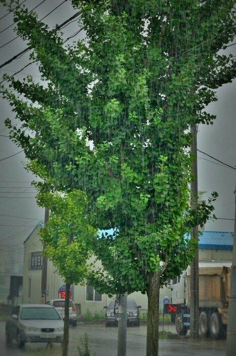 #빗물 에 감춰진,,,  #나무 의 #눈물 이 #자연 의 #아픔 이 #세상 의 #슬픔 이,  보인다,,,  그래, 실컷 울어라 빗물에 눈물에 더러운 #찌꺼기 들 쏴악 털어내고,  다시 #활짝 웃는거야 ^^*  #사진찍는바리스타  #끄적이는바리스타