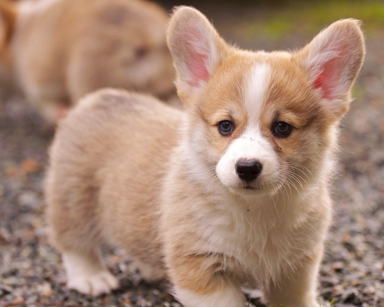Pembroke Welsh Corgi Alert And Affectionate Puppies Welsh