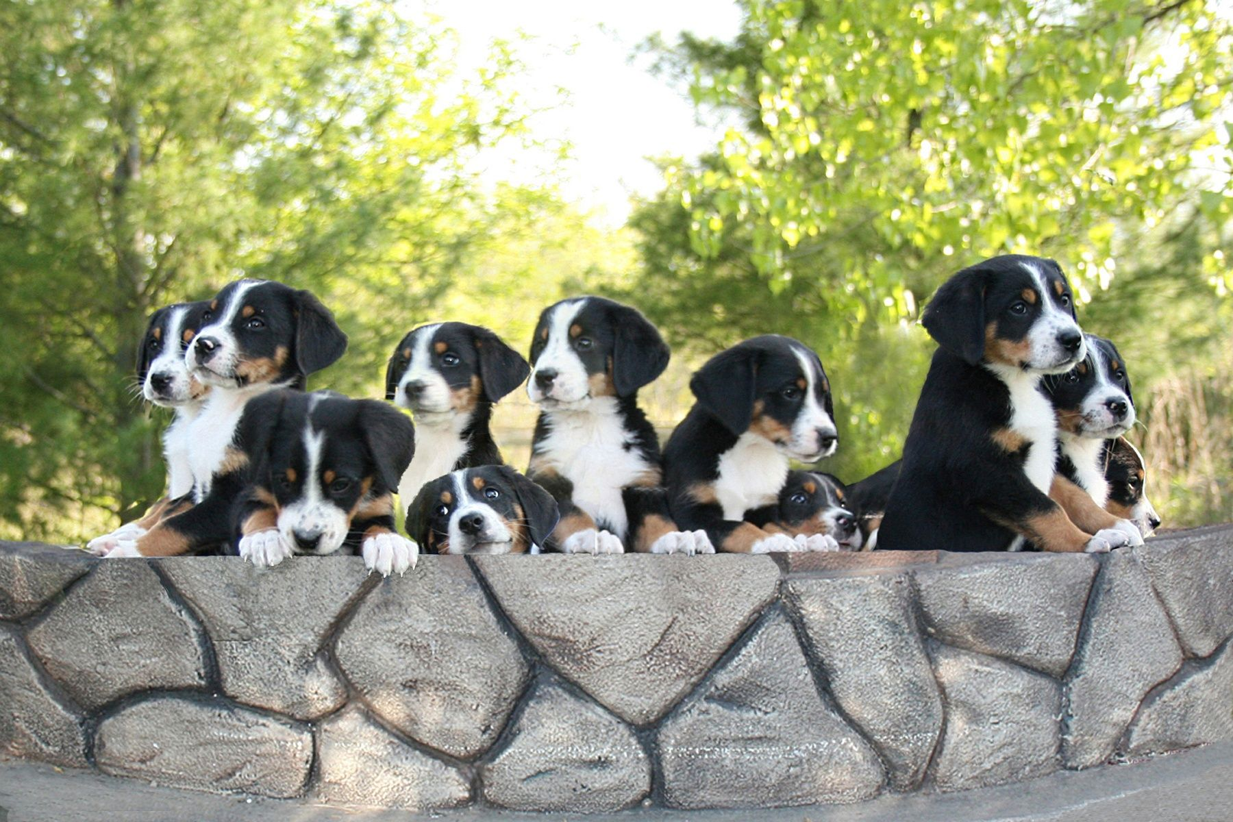 greater swiss mountain dog puppies - HD 1800×1200