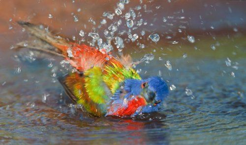 painted bunting  (photo by arthur morris)
