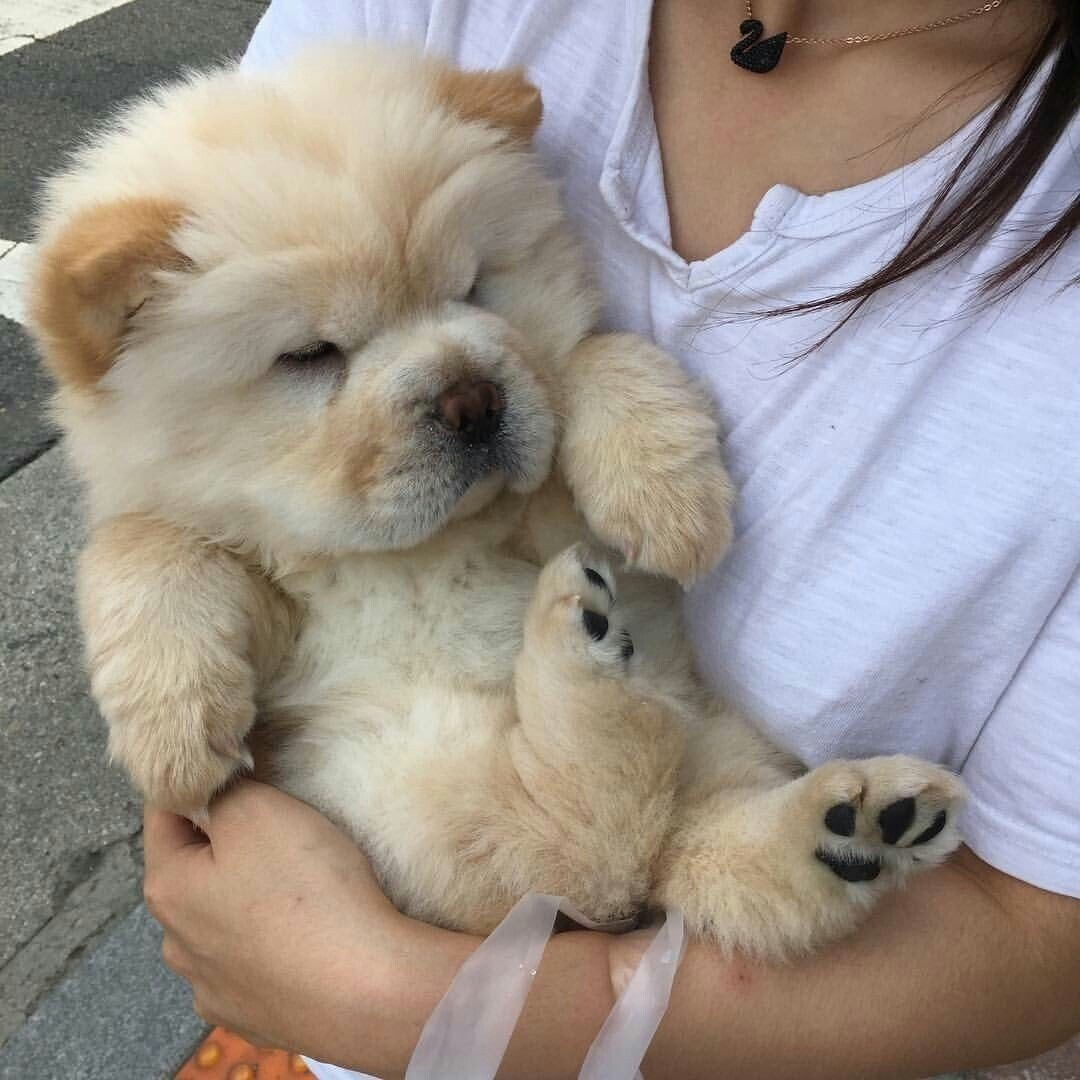 Pin By Tamsyn Jose On Chow Chows Cute Animals Cute Baby