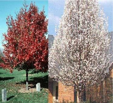 Pin By Sarah Watling On Street Trees Inventory Flowering