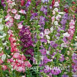 Penstemon Mix graines de fleurs