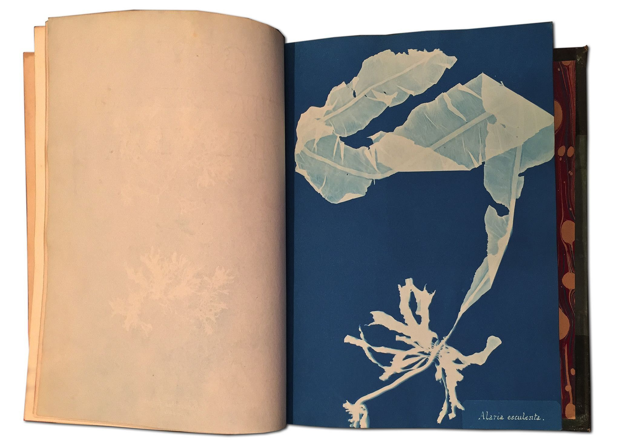 Anna Atkins, Photographs of British Algae: Cyanotype Impressions 1843