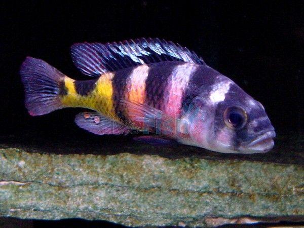 Astatotilapia Latifasciata 4 5cm Haplochromis Obliquidens Cichlids Tropical Fish Fish Pet