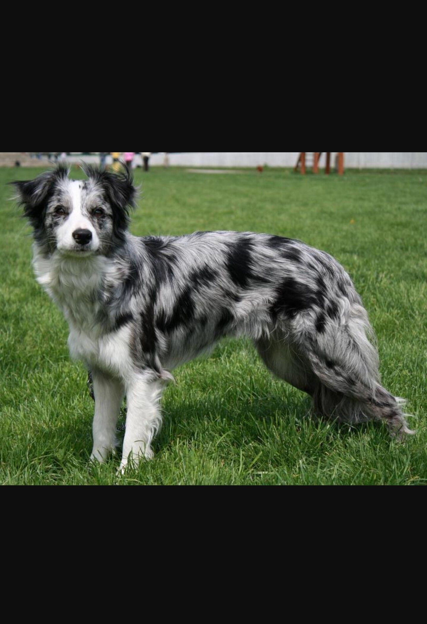 Pin By T T On Pets Border Collie Colors Blue Merle Dogs