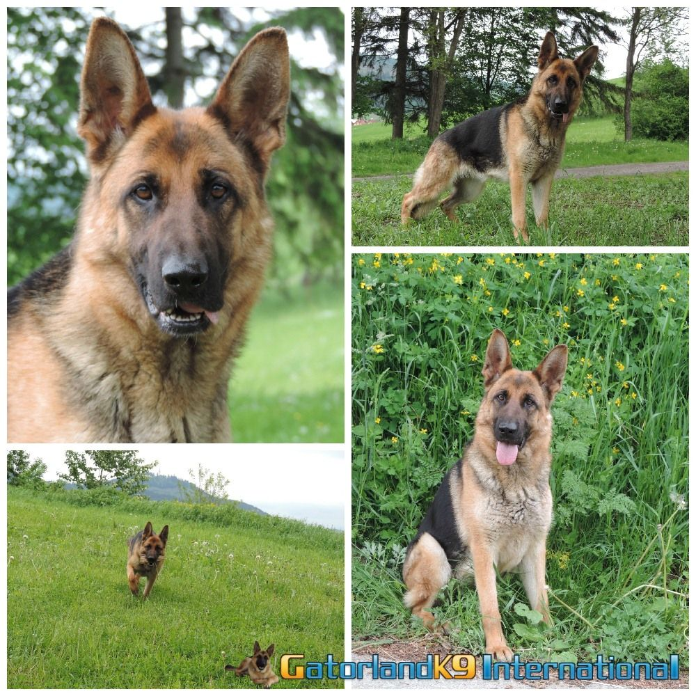 Adult German Shepherds With Images Family Protection Dogs