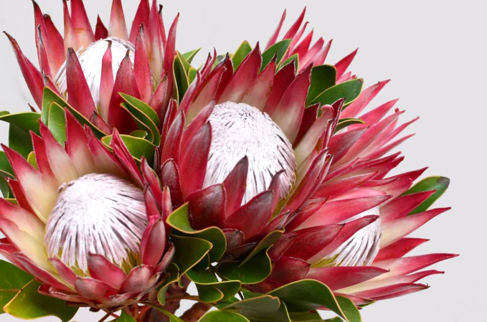 Pin On Information On Growing Protea