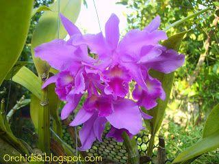 Cattleya portia blue Orchid Flowers