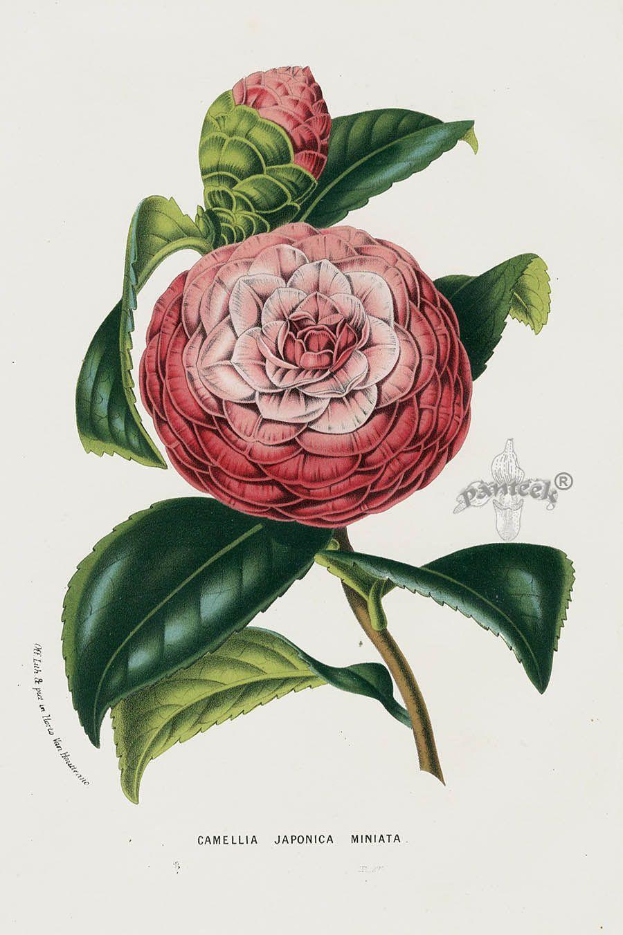 1845 Charles Lemaire Flore des Serres et des Jardin Camellia Prints