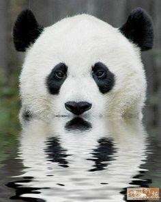 """Pandas são chamados Xiong Mao , em chinês, que significa """"urso-gato"""" , porque ele se parece com um urso em forma e..."""