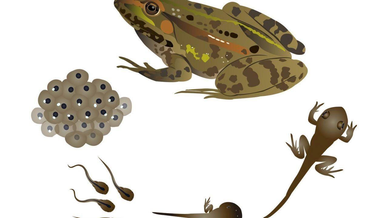 مراحل نمو الضفدع Animals Frog Bicycle