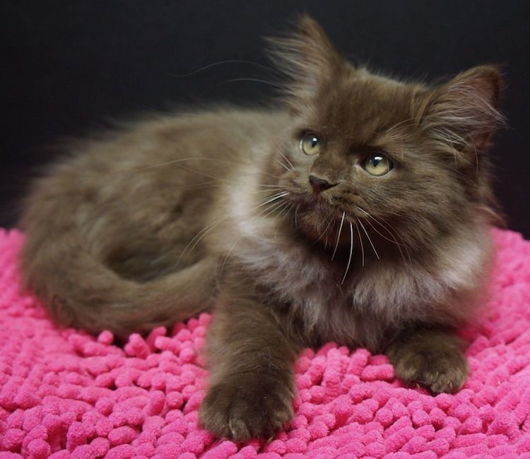be11322a54 chocolate solid ragdoll kitten