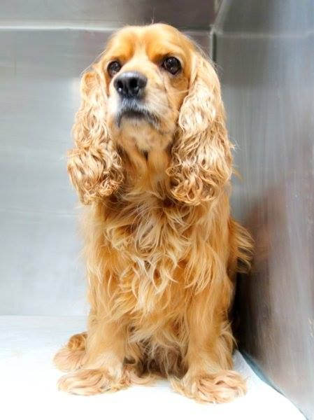 Safe Pulled By Abandoned Angels Cocker Spaniel Rescue Manhattan Center Bismarck A1029304 Male Brown Cocker Spaniel Rescue Cocker Spaniel Small Breed