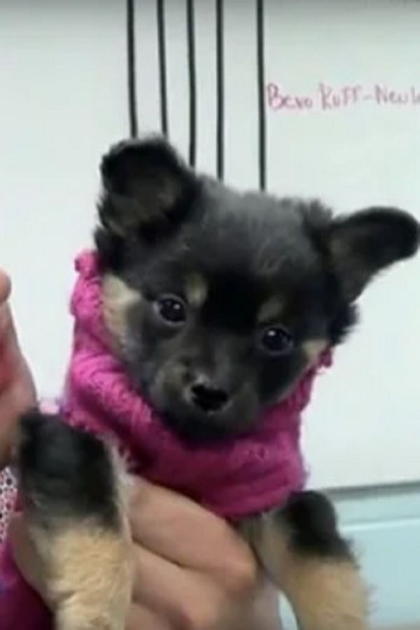 Puppy Was Found Limping But A Vet Thought Of A Clever Way To