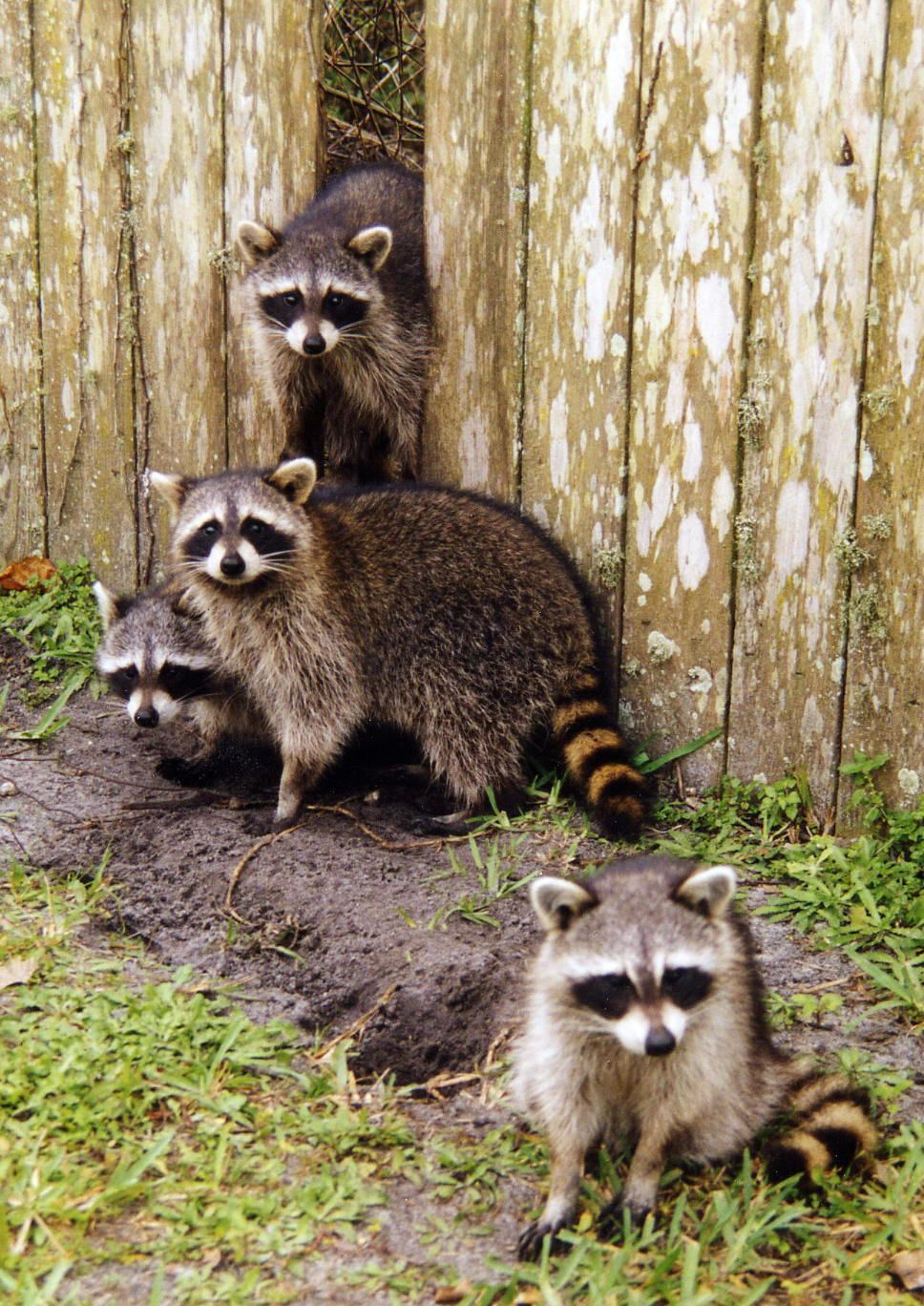 raccoons just come out at night will tear up the garbage if you